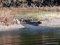 Kanada_Nova Scotia_Cape-Breton_Marble Mountain_1 Adler wartet noch auf Frühstück
