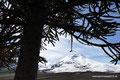 Chile_Reserva National Malalcahuello Nalcas_Es baumelt was