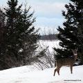 Kanada_Nova Scotia_Neugierige Hirschkuh