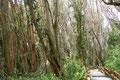 Argentinien_Villa La Angostura_Los Arrayanes NP - Arrayán Bäume