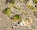 Argentinien_4 km hinter der Grenze - Hase