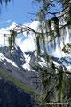 Chile_Laguna del Laja NP_Flechten1