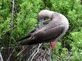 Ecuador_Galapagos_Isla San Cristobal_Punta Pitt-Rotfußtölpel