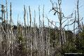 Kanada_Nova Scotia_Cape-Breton_Louisbourg_Tote Bäume