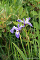 Kanada_Ontario_Lions Head_Viele Blumen wie diese