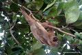 Costa Rica_Cahuita_Tagaktives Zweifinger-Faultier6