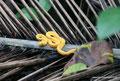 Costa Rica_Cahuita_Greifschwanz-Lanzenotter im Nationalpark1