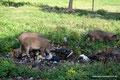 Guatemala_Norden_El Remate_Schweine ersetzen die Müllabfuhr