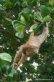 Costa Rica_Cahuita_Tagaktives Zweifinger-Faultier2
