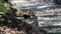 Kanada_Nova Scotia_Cape-Breton_Streifenhörnchen