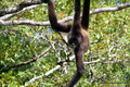 Belize_Orange Walk District_Geoffroy-Klammeraffe