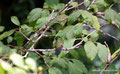Costa Rica_Monteverde_Curi-Cancha Reserve_Kolibri4