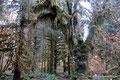 USA_Washington_Olympic NP_Regenwald am Hoh River2