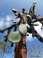 Ecuador_Galapagos_Isla Santa Cruz_Typische Pflanze