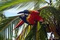 Panama_Isla Bastimento_Ara1