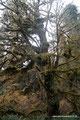 USA_Washington_Olympic NP_Regenwald am Hoh River14