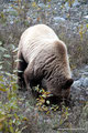 Kanada_Yukon_Alaska Highway_Grizzly3