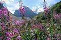 Kanada_Alberta_Banff NP_Lake Louise_Blumen