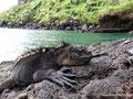 Ecuador_Galapagos_Isla San Cristobal_Meeresleguan