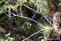 Costa Rica_Monteverde_Curi-Cancha Reserve_Kolibri7