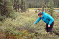USA_Alaska_Denali NP_Blaubeeren