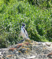 Chile_Insel Chiloé_Pingüinera Punihuil_Humboldt-Pinguine5