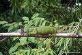 Costa Rica_Palo Verde NP_Grüner Leguan3