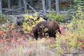 Kanada_Yukon_Alaska Highway_Großer zimtfarbener Schwarzbär1