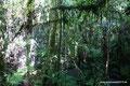 Guatemala_Osten_Biotopo del Quetzal_Im Nebelwald