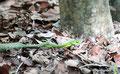 Mexiko_Yucatán Halbinsel_Grüne Baumschlange nach Mahl