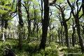 Chile_Pucón_Villarrica NP_Südbuchenwald2