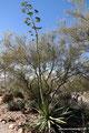 USA_Arizona_Tucson_Arizona Sonora Desert Museum_Blühende Agave