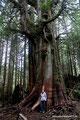 Kanada_British Columbia_Vancouver Island_Pacific Rim NP_Shooner Trail und Baumriese