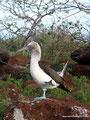 Ecuador_Galapagos_Isla North Seymour_Blaufußtölpel2