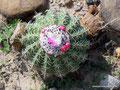Kolumbien_Tatacoa-Wüste_Blüten und Früchte