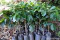 El Salvador_Alegría_Kaffeepflanzen kurz vor dem Pflanzen