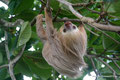 Costa Rica_Cahuita_Unser Zweifinger-Faultier Emil