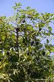 Mexiko_Pazifikküste Nord_Mascota_Avocados