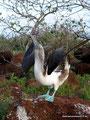 Ecuador_Galapagos_Isla North Seymour_Blaufußtölpel3