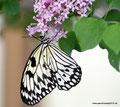 Kanada_Neufundland_Deer Lake_Insectarium_Schmetterling7