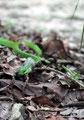 Mexiko_Yucatán Halbinsel_Grüne Baumschlange mit Froschbeinen