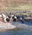 Kanada_Nova Scotia_Cape-Breton_Marble Mountain_3 Adler beim Fischen2