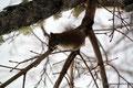 Kanada_Nova Scotia_Eichhörnchen 2