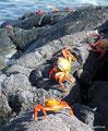 Ecuador_Galapagos_Isla Sombrero de Chino_Rote Klippenkrabben