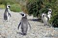Argentinien_Cabo Virgenes_Magellan-Pinguine3