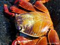 Ecuador_Galapagos_Isla Sombrero de Chino_Krabbe Light Sally