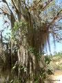 Kolumbien_Zwischen Barichara und Villanueva - Baumflechten