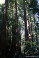 USA_Kalifornien_Muir Woods National Monument_Redwoods2