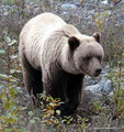 Kanada_Yukon_Alaska Highway_Grizzly7