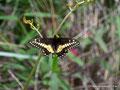 Kolumbien_Tierradentro_Schmetterling2